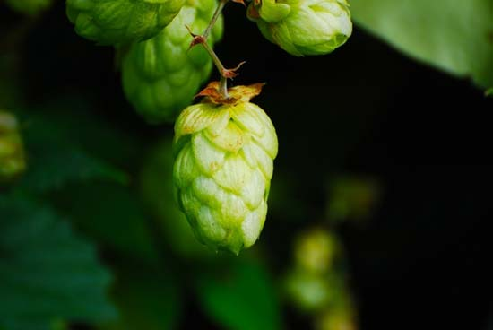 US Anticipated Hop Production Increases by 13 Million Pounds